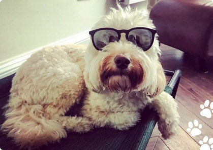 Doggy wearing shades